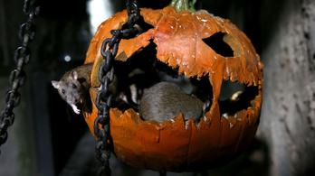 Patkányok támadtak a londoni internetre