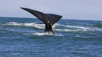 Gyorshajtó bálnagázolók a traffipax célkeresztjében Kanadában