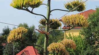 Botanikai csoda: 7,5 méteres agave virágzik Miskolcon