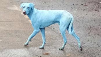 Indiában elkékültek a kóbor kutyák