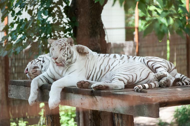 """Hasonló a fehér bengáli tigris is, ami szintén a világ egyik legritkább állata.""""A fehér tigrisből a világon kb"""
