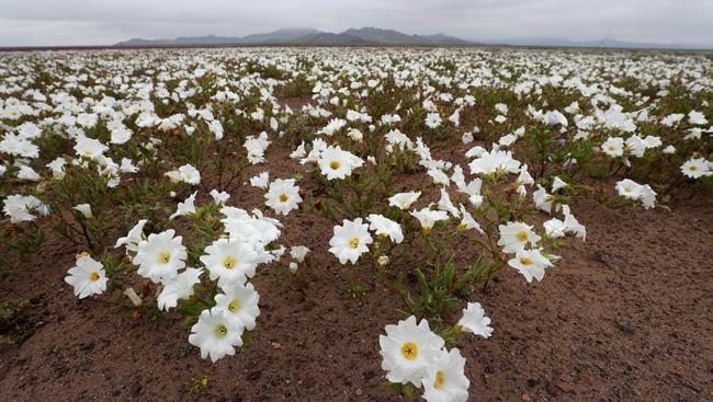 Pompás látvány a kivirágzott Atacama-sivatag