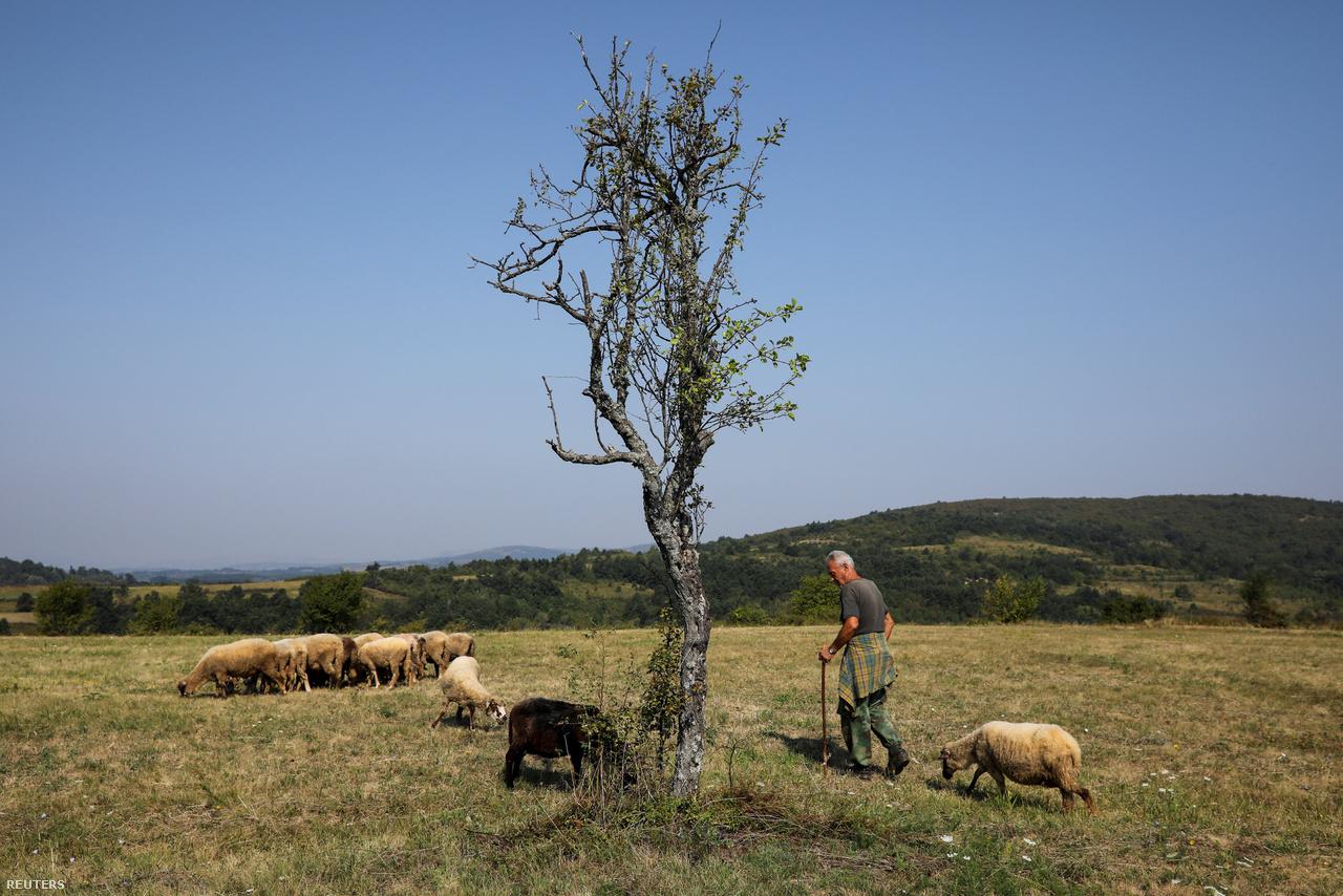 Pásztor a Knjaževac melletti Cirinci közelében.