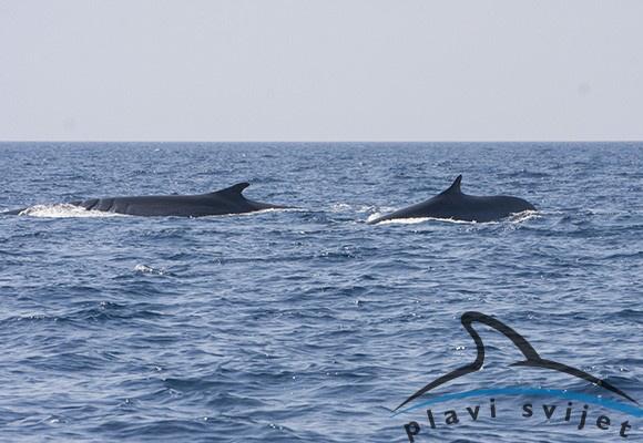 1-fin whales Losinj C-BlueWorldInstitute2017-web page photo