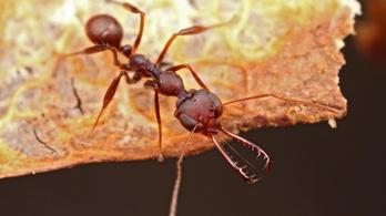 Amíg ön egyet pislant, ennek a hangyának hétszázszor csattan az állkapcsa