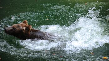Ezért nincsenek barna medvéink