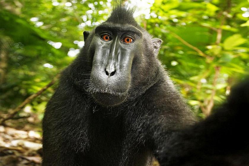 Pert nyert a szelfiző majom ellen a fotós, mégis támogatni fogja az állatot