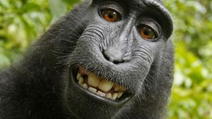 Szerzői jogi vitát indított ez a szelfiző majom