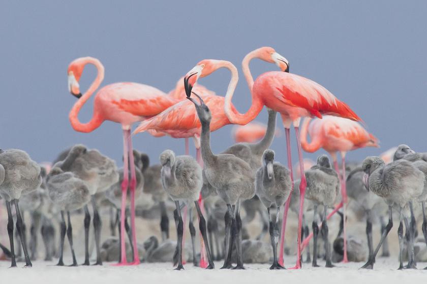 Így néz ki egy flamingóbébi: furcsa, de még csak nem is rózsaszín