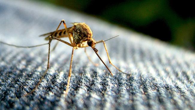 Trópusi vírusok bukkantak fel Olaszországban, amiket szúnyogok terjesztenek