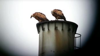Betiltanák a keselyűgyilkos gyulladáscsökkentőt a madárvédők