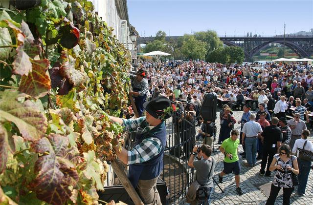 Valahogy így néz ki a fesztivál minden évben a világ legöregebb szőlőtőkéjénél