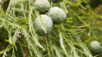 Az AB tett igazságot a miskolci ciprusfa gyökereinek ügyében