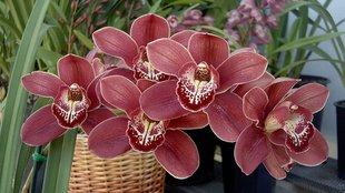 Csónakorchideák teleltetése