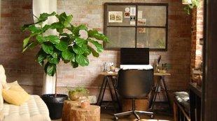 A legmenőbb fa a nappalidba: a lantlevelű fikusz