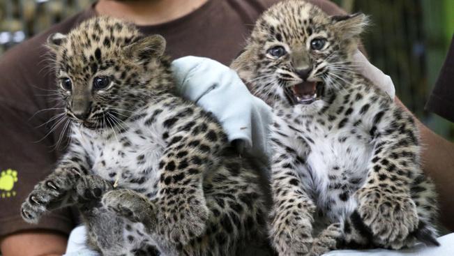 Hathetes leopárdlányok mutatkoztak be Jászberényben