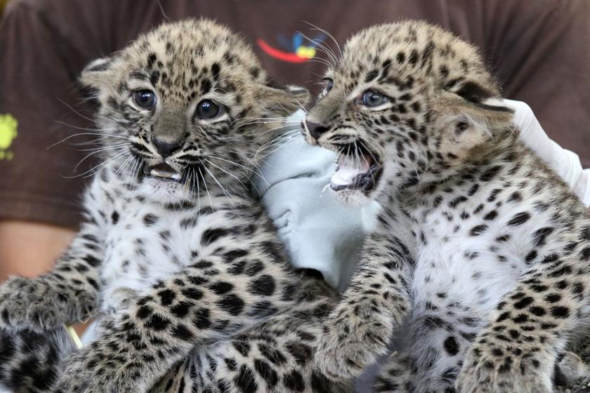 leopard-ketten