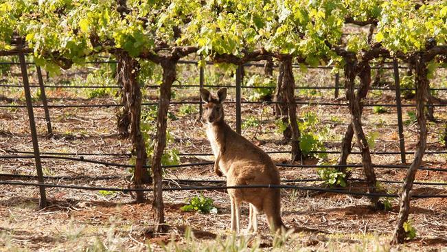 Egy ausztrál borászat vezeti a borok világranglistáját