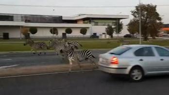 Elszabadult zebrák vágtattak Sopronban