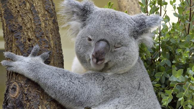 Ettől a koalabébi-összeállítástól azonnal jegyet vált Ausztráliába