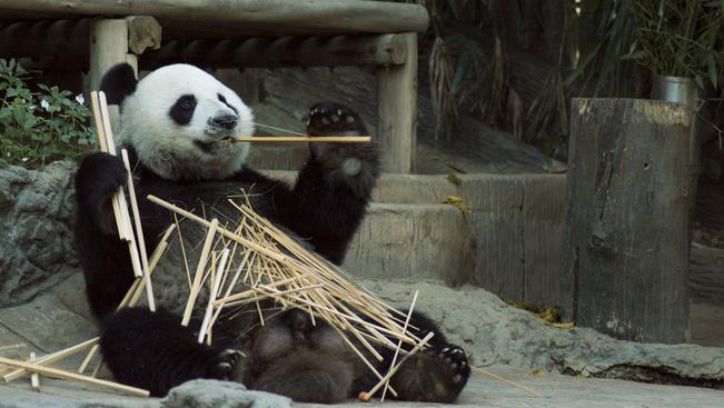 Ötmillió dolláros palotát építettek egy pandapárnak Indonéziában