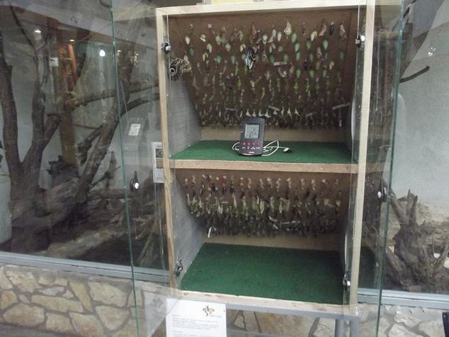 A szekrény, ahol bábokból nevelik a lepkéket