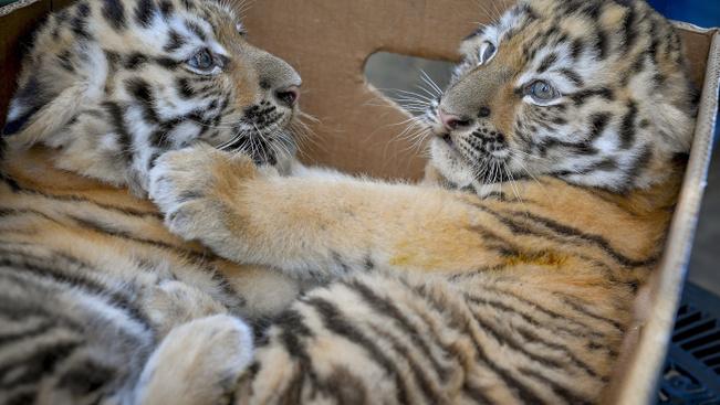 Bemutatták a debreceni állatkert új szibériaitigris-kölykeit