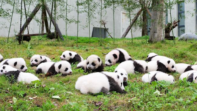 Szereti a pandabocsokat? Mit szólna rögtön harminchathoz?