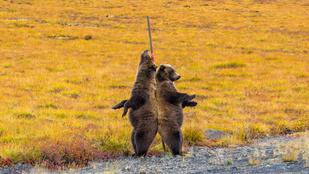 Van kedvesebb látvány a rúdtáncos medvéknél?