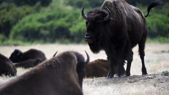 A Higgs bison, avagy a bölénykutatás Szent Gráljának megtalálása