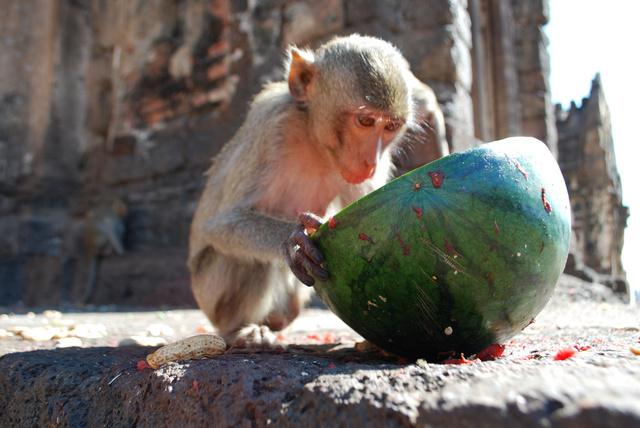 Főként gyümölcsöt kapnak a majmocskák