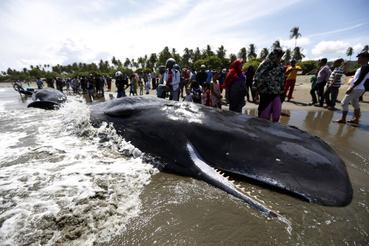 Partra vetődött óriás ámbráscetek (Physeter macrocephalus) tetemeit nézik helyibeliek a Szumátra indonéz sziget Banda Aceh városának tengerpartján 2017. november 14-én. Az előző napon kilenc ámbráscet rekedt a parton, ebből az állatvédők és helyi önkéntesek erőfeszítése ellenére négy végül elpusztult, a többi öt példányt sikerült visszajuttatni az óceánba.