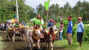 Hagyományőrző bikafuttatás Balin