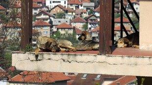 Szarajevó a barátságos kóbor kutyák városa