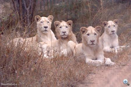 bm lions efg5250 15