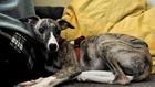 A feszült kutya a lakást rombolja: mit tehetsz ellene?
