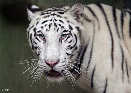 Ilyen egy igazi fehér bengáli tigris