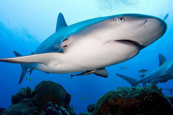 Szirti cápa, West Grand Bahama, Fotó: Willy Volk
