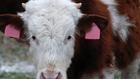 Üvegházhatású gázok a nagyüzemi állattartás révén is keletkeznek