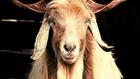 Angliában is a kecskehús az új bárányhús