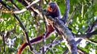 Új majomfajt fedeztek fel az Amazonas őserdőben