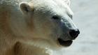 Alaszka töröltetné a jegesmedvét a veszélyeztetett fajok listájáról