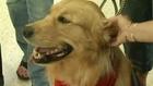 Terápiás kutya nyugtatja az utasokat a reptéren