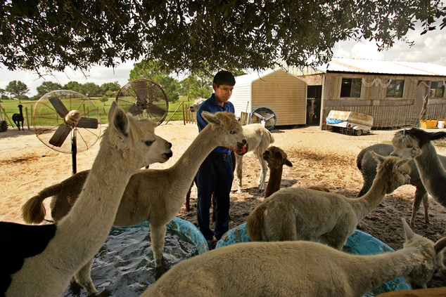 Sárgarépával eteti az alpakákat perui gondozójuk egy floridai farmon