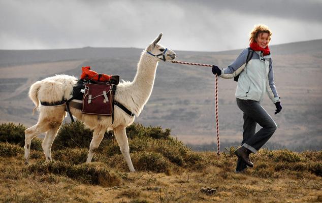 Eileen Crossey alpakájával sétál az angliai Dartmoorban