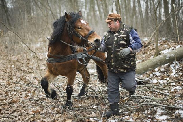 Anka József kivágott fatörzseket húz Bolygó lovával a Sóstói-erdőben, ahol környezetvédelmi okokból visszatértek a lovas fakitermelésre.