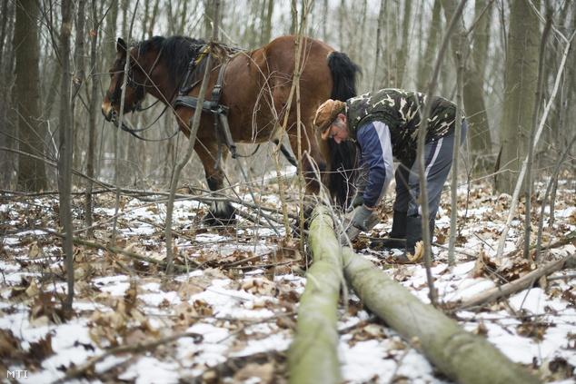 Anka József kivágott fatörzseket akaszt Bolygó lovához a Sóstói-erdőben, ahol környezetvédelmi okokból visszatértek a lovas fakitermelésre.