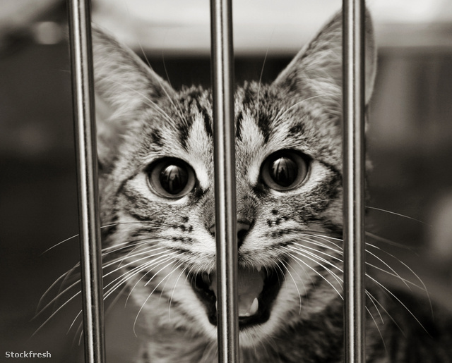 stockfresh 574213 tabby-kitten-in-a-cage-meowing sizeM