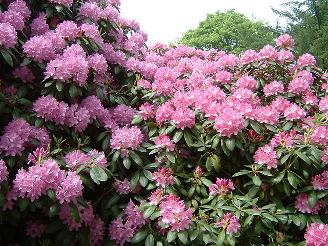 800px-37 Rhododendron 11.05.2003