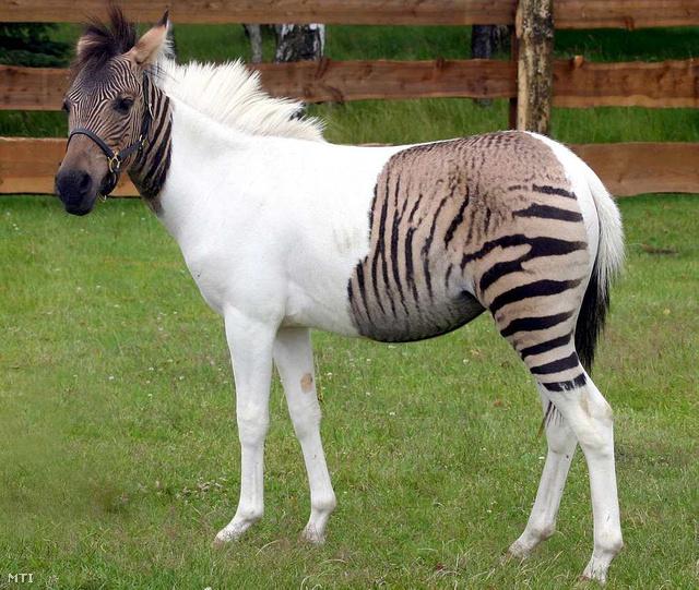 Zebra-ló öszvér a Schloss Holte-Stukenbrock szafariparkban.